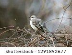 A Northern Mockingbird  Mimus...