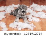 Stock photo naughty bad schnauzer puppy dog made a mess at home destroyed plush toy the dog is home alone 1291912714