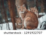 Stock photo european lynx lynx lynx small baby kittens 1291922707