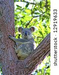 A Koala sitting in a Eucalyptus Tree in Noosa, Sunshine Coast, Queensland, Australia - stock photo