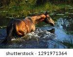 bay akhal teke stallion...   Shutterstock . vector #1291971364