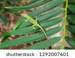 Green Lizard  Nature  Tropical...