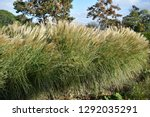 ornamental grass in the garden  ... | Shutterstock . vector #1292035291