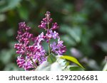 sweet blossoming purple and... | Shutterstock . vector #1292206681
