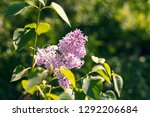 sweet blossoming purple and... | Shutterstock . vector #1292206684