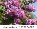 sweet blossoming purple and... | Shutterstock . vector #1292206687