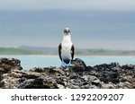 A Blue Footed Booby Sits On...