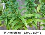 garden fresh spearmint growing... | Shutterstock . vector #1292216941