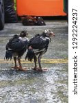 Small photo of a bantam or a small natty hen and baby little chick, as two-footed animals, outdoor in city car park.