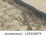 soft-shell crab under the sand, hiding. - stock photo