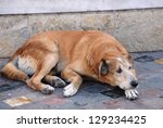 A Sad Stray Dog Is Lying In Th...