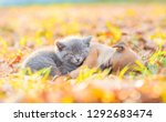 Stock photo tiny kitten and mongrel puppy sleep together on autumn leaves at sunset 1292683474