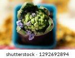 growing hyacinth flower bud in...   Shutterstock . vector #1292692894