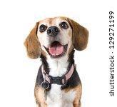 Stock photo a cute beagle looking at the camera 129271199