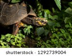 Stock photo red legged tortoise in tropical undergrowth 1292739004