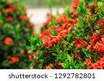 beautiful spike flower blooming ...   Shutterstock . vector #1292782801