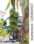 green bunch banana unripe... | Shutterstock . vector #1292820517