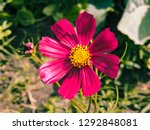 cosmos bipinnatus blooming in... | Shutterstock . vector #1292848081