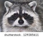 Eye To Eye With Raccoon.