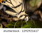 Lime Butterfly  Papilio...