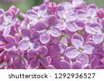 close up of lilac blossoming in ... | Shutterstock . vector #1292936527