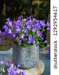 Small photo of Minutisa plant in a flowerpot. Minutiae flower for sale in a florist shop. Indoors house plant.