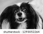 suspicious dog in black and... | Shutterstock . vector #1293052264