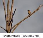 saxicola rubicola  cartaxo... | Shutterstock . vector #1293069781