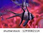 banggai cardinalfish ...   Shutterstock . vector #1293082114