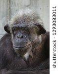 common chimpanzee  pan...   Shutterstock . vector #1293083011