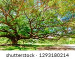 large samanea saman tree with... | Shutterstock . vector #1293180214