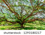 large samanea saman tree with... | Shutterstock . vector #1293180217