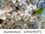 blooming plum tree closeup.... | Shutterstock . vector #1293245371