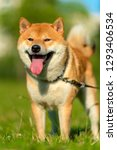 portrait of a red shiba inu dog ... | Shutterstock . vector #1293406534