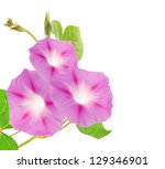 Pink Ipomea Flowers