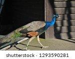 beautiful peacock dedicated...   Shutterstock . vector #1293590281