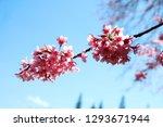 wild himalayan cherry pink... | Shutterstock . vector #1293671944