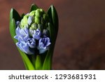 growing hyacinth flower bud  ...   Shutterstock . vector #1293681931