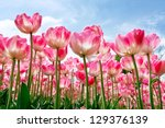 Group Purple Tulips Against Th...