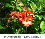 beautiful orange flowers of... | Shutterstock . vector #1293785827