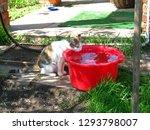 tricolor cat drinking water... | Shutterstock . vector #1293798007
