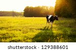 Cow On Green Grass And Evening...