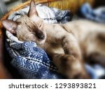 thai cat sleep in the basket  | Shutterstock . vector #1293893821