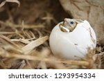 Stock photo close up baby tortoise hatching african spurred tortoise birth of new life closeup of a small 1293954334