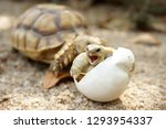 Stock photo close up baby tortoise hatching african spurred tortoise birth of new life closeup of a small 1293954337