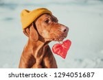 Stock photo charming vizsla dog lying back on snow background with red heart and looking at camera friendship 1294051687