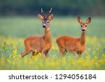 Roe Deer  Capreolus Capreouls ...