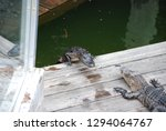 Two Alligators Facing Off On A...