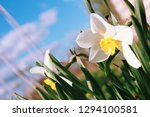 narcissus daffodils close up...   Shutterstock . vector #1294100581