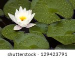 Open White Waterlily Flower And ...